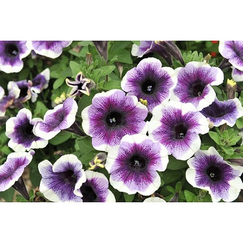 Potunia purple halo
