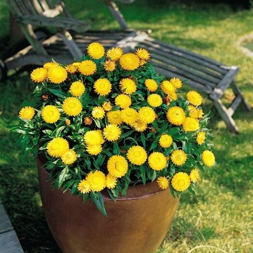 Slamnato Cveće žuto
