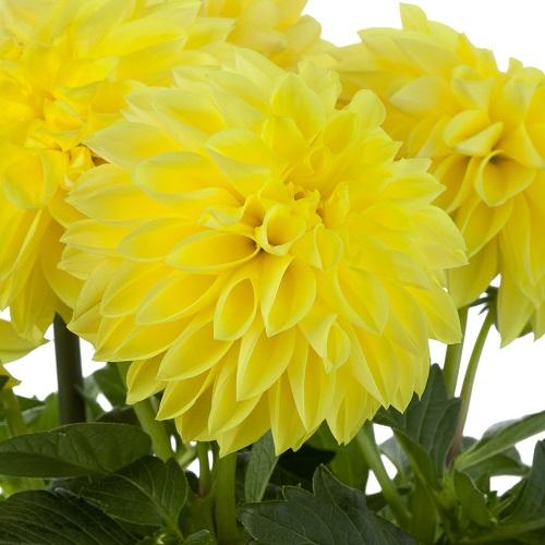 Dalija Grande Yellow